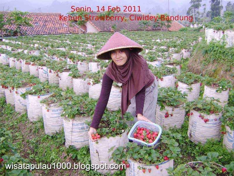 Menikmati Agrowisata di Kebun Strawberry - Bandung